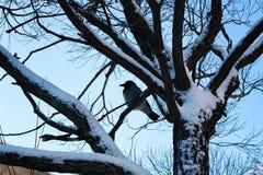 Pájaro desnudo del invierno del abedul Imagen de archivo libre de regalías