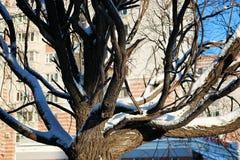 Pájaro desnudo del invierno del abedul Foto de archivo libre de regalías