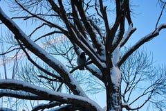 Pájaro desnudo del invierno del abedul Imagen de archivo