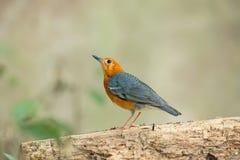 Pájaro dirigido anaranjado del tordo [citrina de Zoothera] Fotografía de archivo libre de regalías