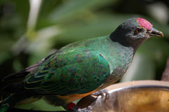 Pájaro dirigido picado Fotografía de archivo libre de regalías