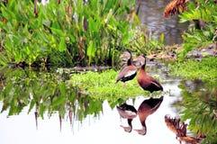 Pájaro, dos patos que silban en humedales Foto de archivo