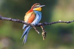 Pájaro - el arco iris se sienta en una rama Imagenes de archivo