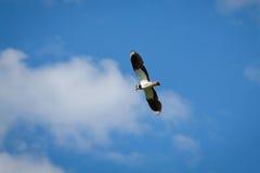 Pájaro el vanellus del Vanellus de la avefría en vuelo contra el cielo azul Fotos de archivo libres de regalías