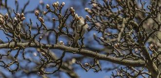 Pájaro en árbol frutal con la floración joven imagenes de archivo