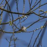 Pájaro en árbol frutal con la floración joven foto de archivo libre de regalías
