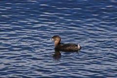 Pájaro en agua Imagenes de archivo