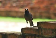 Pájaro en Ayuthaya Tailandia Fotos de archivo