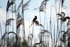 Pájaro en cañas Fotos de archivo libres de regalías