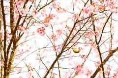 Pájaro en Cherry Blossom y Sakura Imagen de archivo libre de regalías