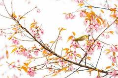 Pájaro en Cherry Blossom y Sakura Imágenes de archivo libres de regalías