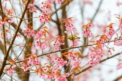 Pájaro en Cherry Blossom y Sakura Fotos de archivo libres de regalías