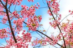 Pájaro en Cherry Blossom y Sakura Fotografía de archivo libre de regalías