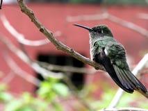 Pájaro en descanso 7 del tarareo Imágenes de archivo libres de regalías