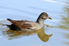 Pájaro en el agua Imágenes de archivo libres de regalías