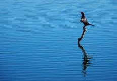 Pájaro en el agua Imagenes de archivo