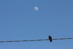 Pájaro en el alambre con la luna Fotografía de archivo