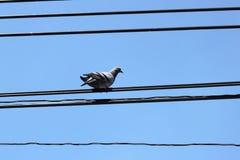 Pájaro en el alambre eléctrico Fotos de archivo libres de regalías