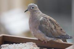 Pájaro en el alimentador - paloma de luto fotografía de archivo