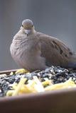 Pájaro en el alimentador - paloma de luto imagenes de archivo