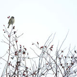 Pájaro en el arbusto color de rosa salvaje fotografía de archivo