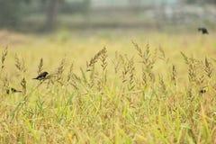 Pájaro en el campo del arroz Fotos de archivo