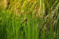 Pájaro en el campo del arroz Fotos de archivo libres de regalías