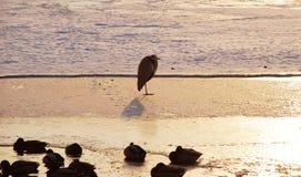 Pájaro en el hielo Foto de archivo libre de regalías