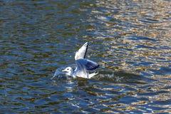 Pájaro en el lago swan, Astrakhan, Rusia imagenes de archivo