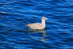 Pájaro en el mar Fotos de archivo libres de regalías