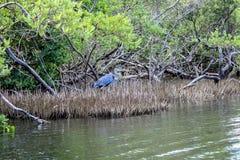 Pájaro en el pantano del mangle foto de archivo libre de regalías