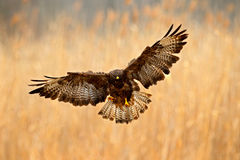 Pájaro en el prado con las alas abiertas Escena de la acción de la naturaleza Pájaro del halcón común de la presa, buteo del Bute Imagen de archivo libre de regalías