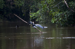 Pájaro en el río Imágenes de archivo libres de regalías