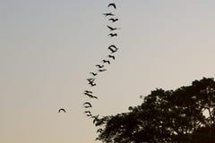 Pájaro en fila que vuela en un cielo claro, el lago de Maracaibo, Venezuela Imagen de archivo libre de regalías
