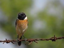 Pájaro en la cerca del alambre de púas Fotos de archivo libres de regalías