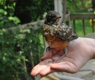 Pájaro en la mano Foto de archivo libre de regalías