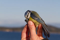 Pájaro en la mano de una mujer para las bandas del pájaro Imagenes de archivo