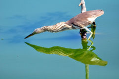 Pájaro en la naturaleza (garza china de la charca) Imagenes de archivo