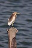 Pájaro en la naturaleza (garza china de la charca) Imagen de archivo libre de regalías