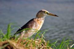 Pájaro en la naturaleza (garza china de la charca) Imagen de archivo