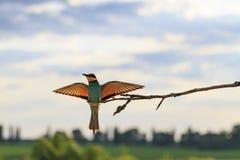 Pájaro en la puesta del sol con las alas abiertas Fotografía de archivo libre de regalías