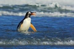 Pájaro en las ondas azules El pingüino de Gentoo, pájaro de agua salta del agua azul mientras que nada a través del océano en Fal Foto de archivo