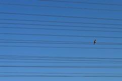 Pájaro en los alambres Foto de archivo libre de regalías