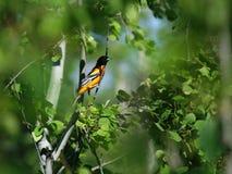 ¡Pájaro en los arbustos! Fotografía de archivo