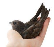 Pájaro en mano humana Foto de archivo