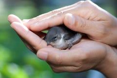 Pájaro en manos que cuidan. foto de archivo libre de regalías