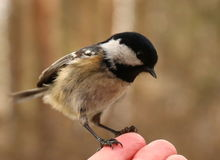 Pájaro en mi mano Fotos de archivo