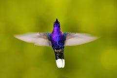pájaro en mosca Colibrí del vuelo Escena de la fauna de la acción de la naturaleza Colibrí de Costa Rica en el bosque tropical qu Fotografía de archivo