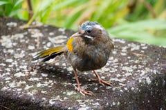 Pájaro en mountian alishan Fotografía de archivo
