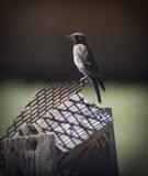 Pájaro en perca Fotografía de archivo